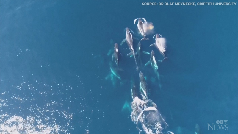 Drone footage shows humpback whales in rare 'heat run'