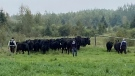 Some of the fraudulent cattle RCMP located as part of an investigation in Alberta and Saskatchewan (Source: RCMP)