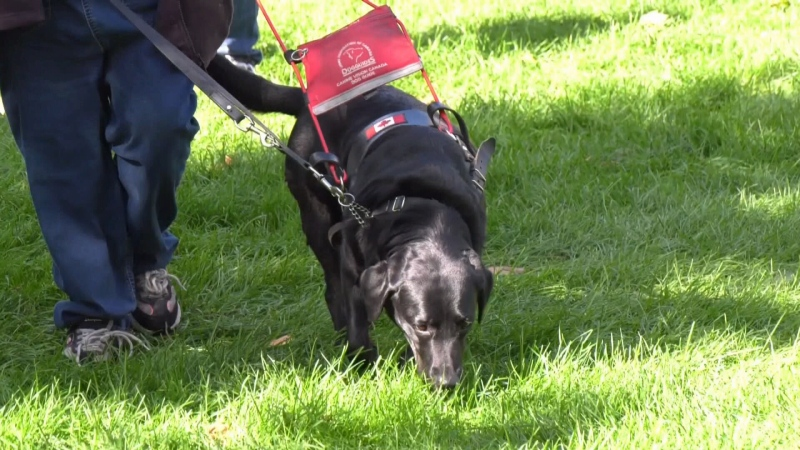 Dozens took part in this year's Pet Valu Walk for Guide Dogs in Orillia on Sun. Sept. 26, 2021 (Chris Garry/CTV News Barrie)