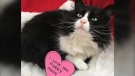 Cricket, a cat available for adoption through the SPCA in Vancouver, is seen in this photo from the SPCA website.