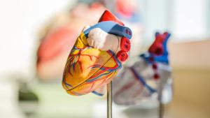 Heart health heart model