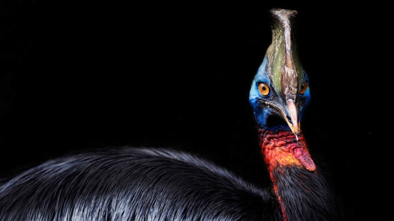 """A cassowary can be aggressive, but it """"imprints"""" easily -- it becomes attached to the first thing it sees after hatching. This means it's easy to maintain and raise up to adult size. (Shutterstock via CNN)"""