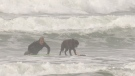 Martin Jasek and his Labrador retriever, named Ceto, surfing in Tofino, B.C. (CTV News)