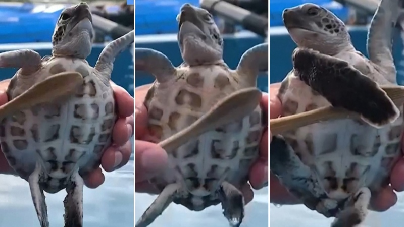 An endangered green turtle enjoy being groomed by its handler at a Japanese marine centre.