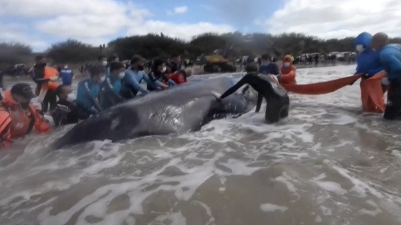 Rescuers save beached whale in Argentina