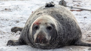When Department of Fisheries and Oceans biologist Damina Lidgard first attached a camera to the back of a young gray seal, as shown in this handout image, on Sable Island, N.S. in 2017, he thought it wouldn't be long before he was able to retrieve the device and review the data. (THE CANADIAN PRESS/HO-Damian Lidgard)