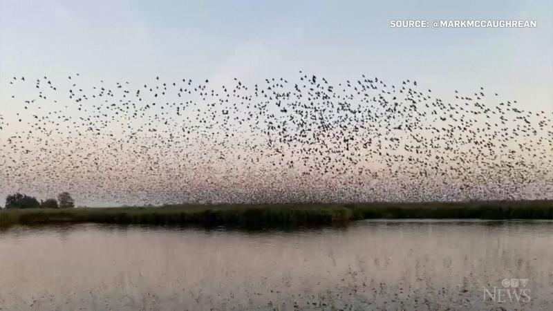 This picture taken from a video shared on social media shows a murmuration of starlings before sunset on Oct. 9.