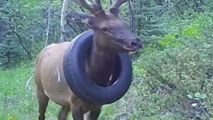 Colorado wildlife officers successfully removed a tire that was stuck around the neck of a bull elk for at least two years.
