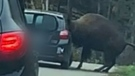 Bison gets head stuck inside car window