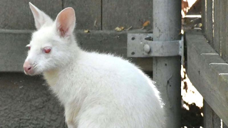 Rare albino wallaby born at Kansas zoo