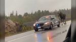 Moose appears to get police escort down Highway 69. Oct. 2/21 (Bailey Badgerow)