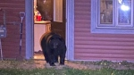 A Wood Buffalo family was visited by a black bear on Oct. 4, 2021. (Image Courtesy: Sean Reddy)