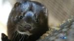mink fur farming bc disease