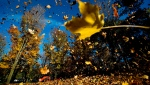 Park workers use a tractor with a industrial leaf blower to pile up fall leaves at High Park in Toronto on Monday, Oct. 28, 2013. THE CANADIAN PRESS/Nathan Denette