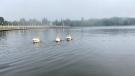 Three pelicans are seen on Wascana Lake on August 5, 2021. (Cole Davenport/CTV News Regina)
