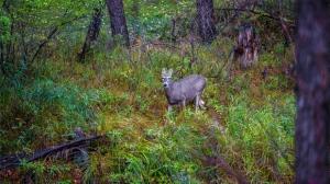 Deer in the rain this morning in Winnipeg. Photo by Stu Hughes.