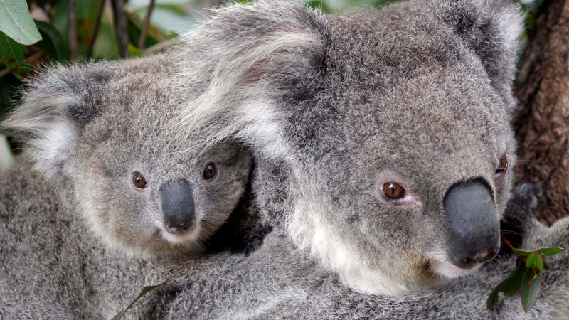 Maggie the female koala climbs a tree with her joey at the Taronga Zoo in Sydney, Australia, Sept. 1, 2011. (AP Photo/Rob Griffith)