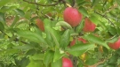 Extremely good year for N.S. apple growers.