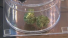 Third anniversary of cannabis legalization