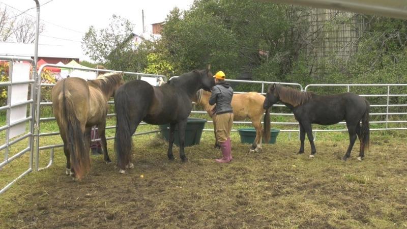 Ojibwe Spirit Horses at Madahoki Farm in Ottawa. (Shaun Vardon/CTV News Ottawa)