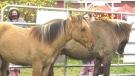 Four Ojibwe Spirit Horses now live at Madahoki Farm in Ottawa. (Shaun Vardon/CTV News Ottawa)