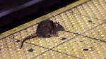 A rat sits on the ledge of a subway platform on Tuesday, Jan. 27, 2015. (AP Photo/Richard Drew)