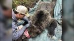 Wildlife scientist Clayton Lamb puts a collar on bear EVGF97 in Elk Valley B.C. in 2019. The bear was killed by a train along with three of her cubs. (Courtesy Clayton Lamb)