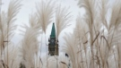 The Peace tower is seen through rushes in Ottawa, Oct. 18. 2021. (Adrian Wyld/THE CANADIAN PRESS)