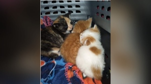 Kittens found abandoned in Hagersville (Supplied: OPP)