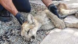WATCH: Mountain lion captured inside condo complex