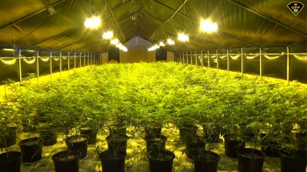 An illegal cannabis operation is seen in this undated image. (OPP)