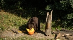 A bear is seen eating a pumpkin in this undated image. (Shutterstock)