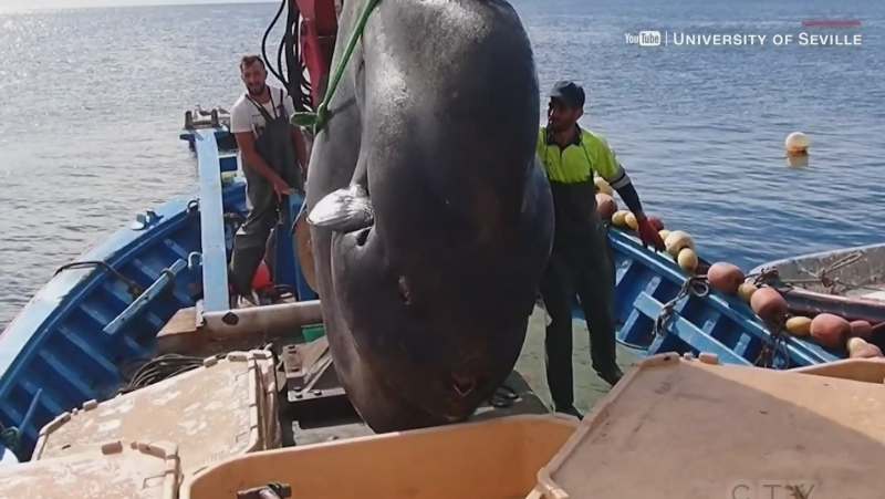 Biologists reel in 4,000-pound sunfish off norther