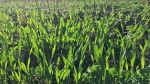 The University of Manitoba is studying the benefits of cover crops for farmers across the prairies. (Source: Callum Morrison/ U of M)