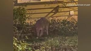 Coyotes seen in inner Winnipeg