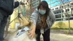A health care worker pets Candy at a pop-up pet therapy session. Oct. 20, 2021. (CTV News Edmonton)