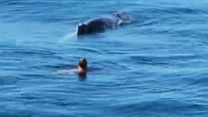Whale entangled in lobster trap freed