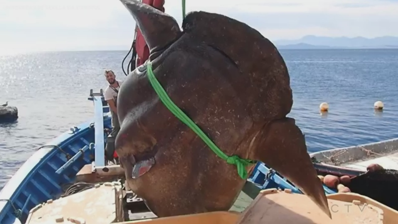 Extended: Massive sunfish reeled in then released