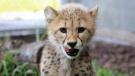 A baby cheetah at the Toronto Zoo. (thetorontozoo/Instagram)