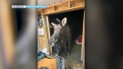 A moose showed up at a shed party south of Sudbury. Sept. 25/21 (Jacob Rintala)