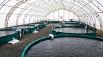 Once expanded, Taste of BC Aquafarms plans to farm different Pacific salmon species, such as chinook and coho.
