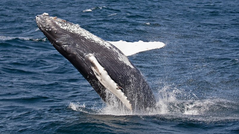 A humpback calf in the Salish Sea off British Columbia in October 2021. (Val Shore/PWWA)