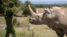 Najin, a 32-year-old northern white rhino, has been retired from a breeding program aimed at saving the species after researchers found benign tumors on her reproductive organs. She is one of only two surviving northern white rhinos worldwide. (Ben Curtis/AP via CNN)