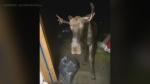 Moose crashes group hangout