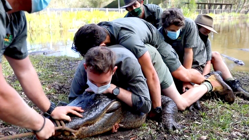 WATCH: Aggressive alligator moved from reptile zoo