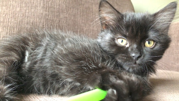 Tarred kitten Ashley recovers completely and finds her at home forever