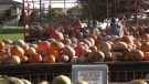 Families search for the perfect pumpkin