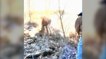 Alta. man frees wailing moose calf stuck in fence