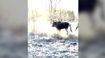 An Alberta man rescued a wailing moose calf caught in a wire fence as coyotes were circling it. (Kyle Spratt via Storyful)