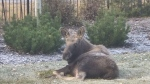 An injured moose rests near a fence outside Calgary after it was impaled on the metal spikes. The animal was later put down by Fish and Wildlife officers due to its injuries. (image courtesy: Sameer Sheth)